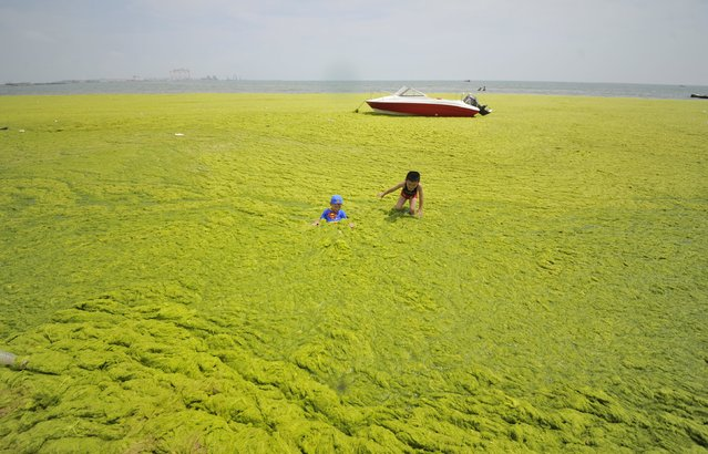Children play at an algae-covered beach in Haiyang, Shandong province, China, June 28, 2015. (Photo by Reuters/Stringer)
