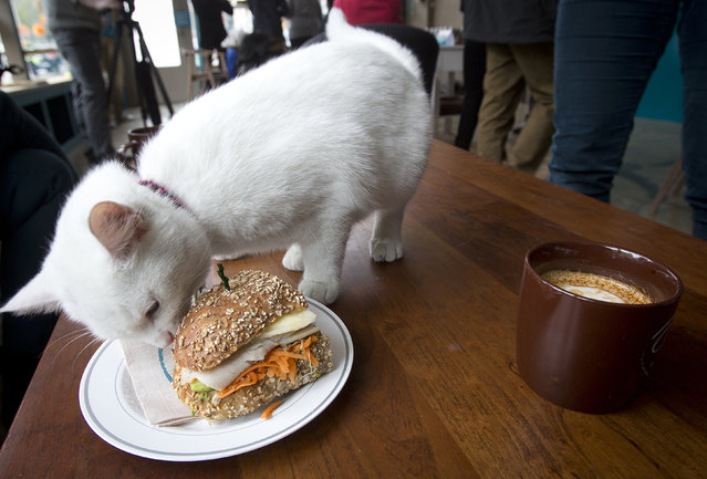 A cat smells a sandwich at the cat cafe in New York April 23, 2014. The cat cafe is a pop-up promotional cafe that features cats and beverages in the Bowery section of Manhattan. (Photo by Carlo Allegri/Reuters)