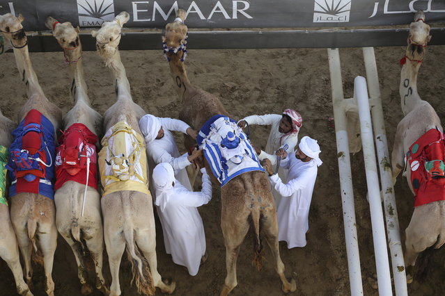 In this Friday, April 14, 2017 photo, camel keepers make final preparation of their camels before the start point of a race at the Al Marmoom Camel Racetrack, in al-Lisaili about 40 km (25  miles) southeast of Dubai, United Arab Emirates. (Photo by Kamran Jebreili/AP Photo)