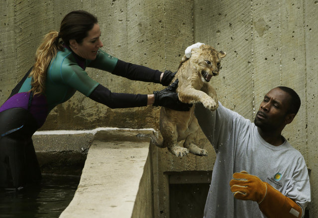 Smithsonian National Zoo animal keepers J.T. Taylor (R) and Kristen Clark (L) carefully handle a female lion cub after its swim test in the zoo habitat moat in Washington May 6, 2014. Four, unnamed ten-week old lion cubs were tested today for their ability to swim and remove themselves from their zoo habitat moat. (Photo by Gary Cameron/Reuters)