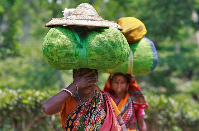 Tea garden workers carry sacks of tea leaves at Fatikchera tea garden estate on the outskirts of Agartala, India, May 10, 2016. (Photo by Jayanta Dey/Reuters)