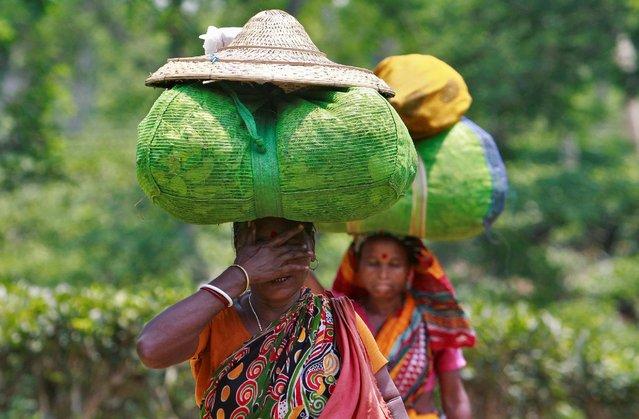 Tea garden workers carry sacks of tea leaves at Fatikchera tea garden estate on the outskirts of Agartala, India, May 10, 2016. (Photo by Jayanta Dey/Reuters)