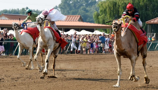 Down the home stretch, Bumpy Ride, left, with Killian Hennessey; Over the Hill, with Rafael Mojica; and Hump Day, with Jamie Theriot, competes in Saturday's annual camel race at Ellis Park on Saturday, July 25, 2015, in Henderson, Ky. (Photo by Mike Lawrence/The Gleaner via AP Photo)
