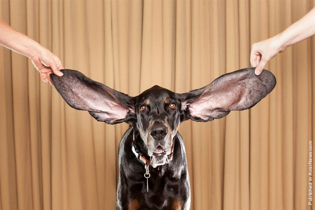 A Black and Tan Coonhound named Harbor has the longest ears of any living dog, with measurements of 12.25 (31,12 cm) inches for the left ear and 13.5 (34,29 cm) inches for the right