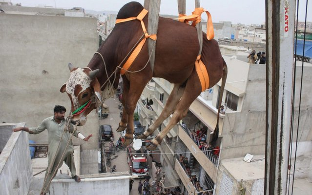 Pakistani breeder uses crane to carry his animals down from the roof for transporting them to the livestock market for the Muslim's Eid al-Adha in Karachi, Pakistan on August 04, 2019. Due to the crowded population, agricultural land scarcity and irregular urbanization in Karachi, people sometimes keep their animals on their roofs. (Photo by Sabir Mazhar/Anadolu Agency via Getty Images)