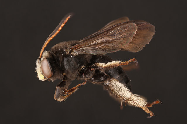 The male two-spotted long-horned bee. (Photo by Alejandro Santillana/Insects Unlocked/Cover Images)
