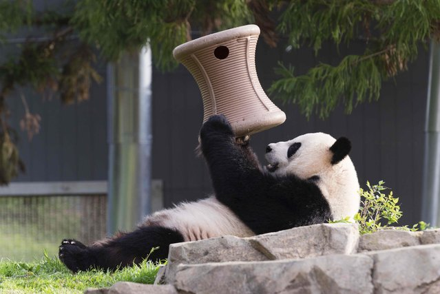 Giant panda Mei Xiang plays inside the Snithsonian's National Zoo in Washington, in this handout image taken on April 19, 2015 and obtained on August 10, 2015. (Photo by Connor Mallon/Reuters/Smithsonian's National Zoo)