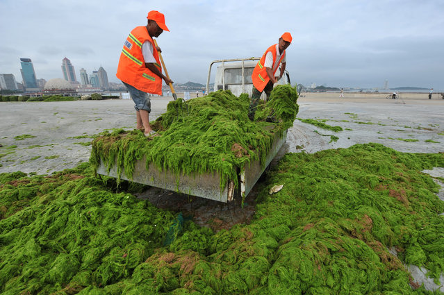 Workers unload algae at a factory near a beach in Qingdao, Shandong Province, China, June 28, 2016. (Photo by Reuters/Stringer)