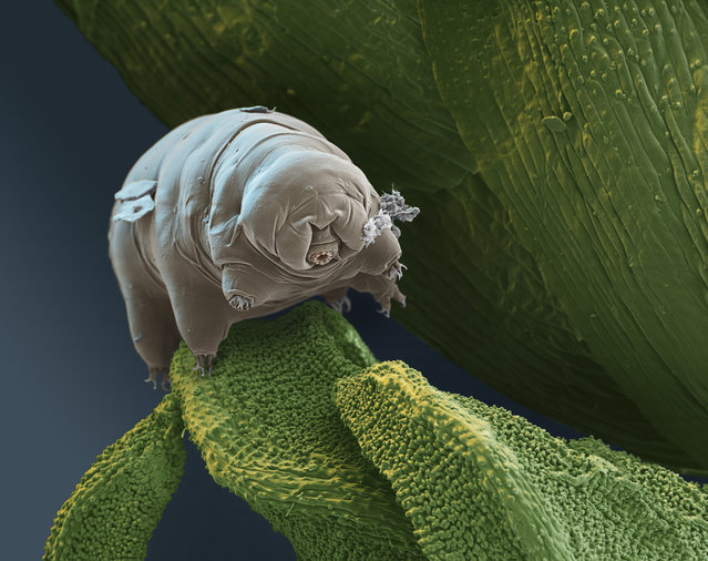 Tardigr Pm kenianus 300x. This tardigrade, first discovered in Africa, feeds on bacteria and protozoan. (Photo by FEI Company)