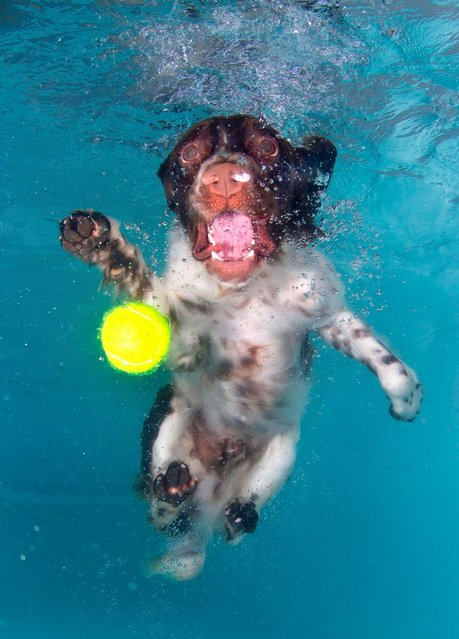 "Photographer Lucy Ray says she has been scratched by the pooches who are diving underwater to try and catch a tennis ball. Their wide-eyed desperation has been captured by a specialist underwater photographer who admits she has been bitten and scratched by the pooches who only had eyes for the ball. Lucy Ray, 34, said: ""A dog could have the cutest face on land but as soon as they get in the water they can be terrifying. Their eyes bulge and teeth shoot out of their mouth just like an alien as they try to catch the ball"". (Photo by Lucy Ray)"