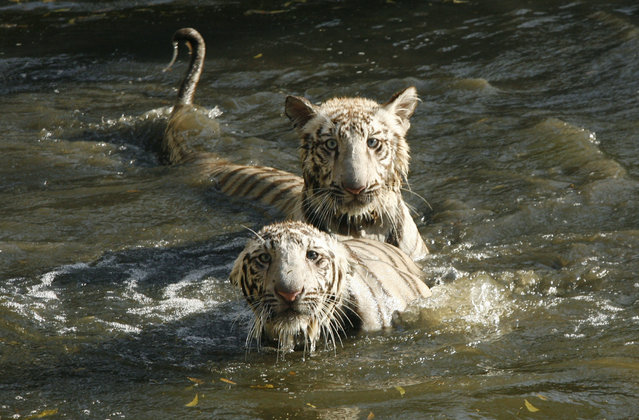 Five-month-old white tigers play inside their open enclosure at a zoological park in New Delhi March 28, 2007. (Photo by B. Mathur/Reuters)