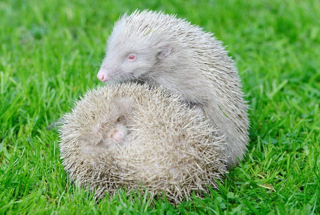 Two rare one-year-old Albino Hedgehogs called Tughall and Albie who have been rescued by Carole Catchpole, the founder of the hedgehog rescue centre in Longframlington in Northumberland on September 24, 2014. (Photo by Owen Humphreys/PA Wire)