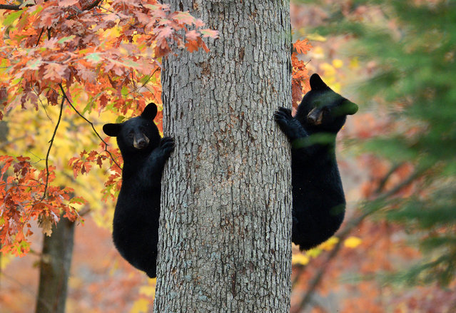 Two black bear cubs pause as they climb a tree in a residential area of Kingston Township, Pa. on Thursday, October 30, 2014. (Photo by Andrew Krech/AP Photo/Citizens' Voice)