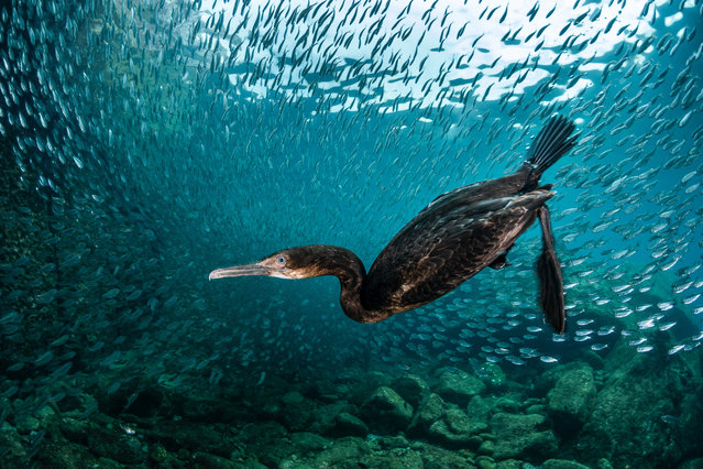 Best portrait silver winner. Cormorant underwater view by Greg Lecoeur, France. (Photo by BPOTY/Cover Images)