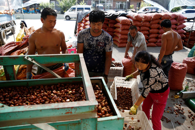 People sort chestnuts in Gulou Village outside China's Dandong, Liaoning province, at the border with North Korea, September 11, 2016. (Photo by Thomas Peter/Reuters)