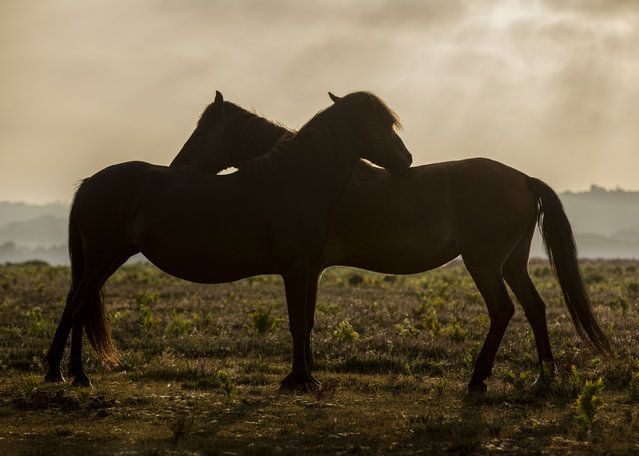 A pair of New Forest Ponies groom each other at sunrise in the New Forest, Hampshire, UK on August 11, 2020. (Photo by Mark Kerton/Rex Features/Shutterstock)