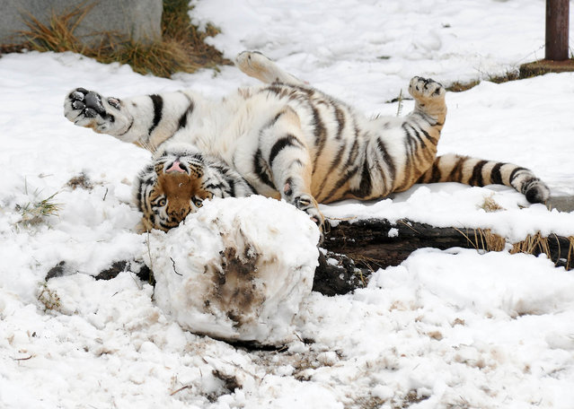 This is the hilarious moment an adult tiger gets ready to pounce on a meat covered snowman as he enjoys a wintery treat. Max, a two-year-old Amur tiger, took advantage of the icy storms sweeping across North America by playing in the snow. The big cat was seen licking and pouncing on the snowman, which was made with meat for eyes and bones for feet.  The powerful beast then went on to entertain baying crowds as he rolled around on the floor and played football with the snowmans head. (Photo by Jim Schulz/Splash News)