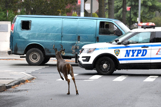 Just after 1PM police were called to Ocean Parkway and Avenue S in Gravesend Brooklyn on September 29, 2020 for a large loose deer in the backyard. The deer was spited on the private corner property. NYPD ESU units and dozens of NYPD officers including medics arrived. As NYPD ESU truck 6 units cornered the deer it jumped through bushes and into Ocean Parkway, crossing 6 lane traffic into another driveway across the street, where ESU was able to shoot the tranquilizer into deer's right side, at that point the deer just charged at the cops and along the Ocean Parkway service road, southbound. By 2PM, the deer remains loose. (Photo by Paul Martinka/The New York Post)