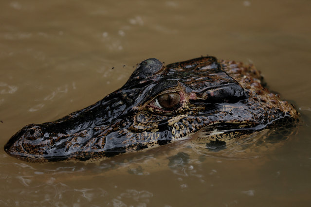 An alligator, part of the jaguars' diet, surfaces at the Mamiraua Sustainable Development Reserve in Uarini, Amazonas state, Brazil, February 11, 2018. (Photo by Bruno Kelly/Reuters)