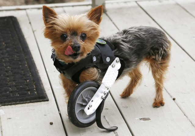A Yorkshire Terrier named Hope shows off her uni-wheel attached to a doggie vest in Longmont, Colorado April 21, 2013. Hope is missing one limb and is able to walk with the wheel attachment. (Photo by Rick Wilking/Reuters)