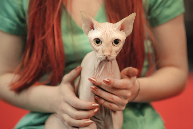 A Sphynx cat stares sitting on its owner's lap during an international feline beauty competition in Bucharest, Romania, Saturday, April 14, 2018. More than 250 cats take part in the two-day competition in the Romanian capital. (Photo by Vadim Ghirda/AP Photo)