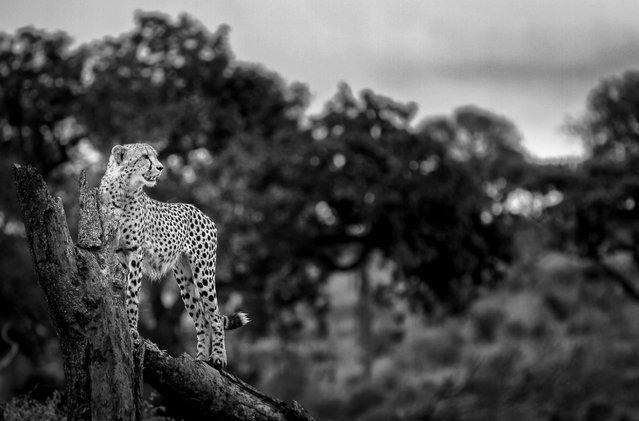 "The fastest animal on the planet, the cheetah. This male uses a fallen tree for elevation to scan for any prey species. Chris shares, ""the dark background and depth of field made this image special for me. It also encapsulates the regal nature that cheetah's exude"". (Photo by Chris Renshaw)"