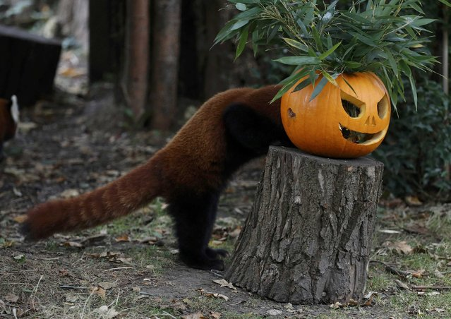 A Red Panda searches for food inside a carved Halloween pumpkin in its enclosure as part of the Enchantment event at Chester Zoo in Chester, Britain October 24, 2016. (Photo by Phil Noble/Reuters)