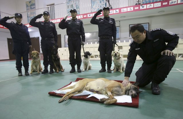 Policemen salute as they attend a farewell ceremony after explosive-sniffing police dog Tiantian (on the ground) died due to illness, at a police base in Beijing, China, December 1, 2015. Nine-year-old Tiantian, which once served as a security dog during Beijing's military parade on September 3 this year, passed away on Tuesday after a tumor-removing surgery, local media reported. (Photo by Reuters/China Daily)