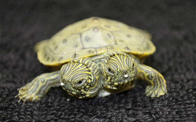 Thelma and Louise, a two-headed Texas cooter turtle, is seen in an undated photo provided by the San Antonio Zoo. Zoo officials on Tuesday, June 25, 2013 said the Texas cooter was born June 18. The turtle was one of several Texas cooters born this month at the zoo but the only one with two heads. The unusual turtle will go on display Thursday at the zoo's Friedrich Aquarium. (Photo by AP Photo/San Antonio Zoo)