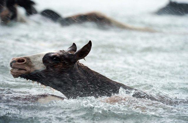 Chincoteague Ponies swim across Assateague Channel in a heavy downpour. (Photo by Jay Diem/Eastern Shore News)