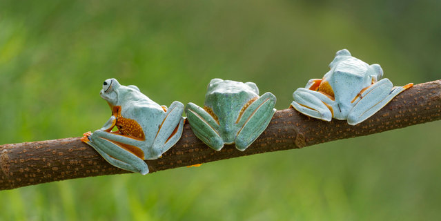 The three black webbed tree frogs. (Photo by Hendy Mp/SOLENT News)