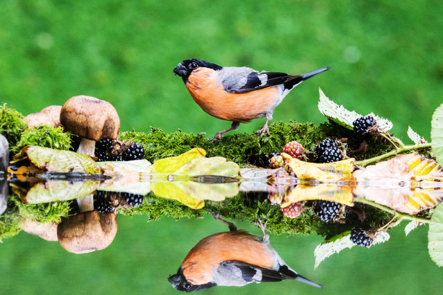 A striking male bullfinch (Pyrrhula pyrrhula) visits a garden pool in early autumn in mid Wales, UK on September 2, 2018. The birds were attracted by some food to visit the pool in my garden. There was a deluge of great tits and blue tits but this striking male bullfinch stood out today. The bullfinch is in decline in the UK. (Photo by Phil Jones/Alamy Live News)