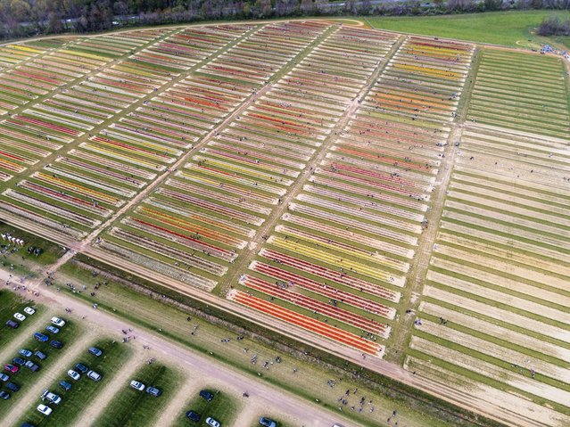 Aerial view of tulip farms is seen as hundreds of people visit Holland Ridge Farms as they enjoy and pick up tulips in Cream Ridge of New Jersey, United States on April 24, 2021. (Photo by Tayfun Coskun/Anadolu Agency via Getty Images)
