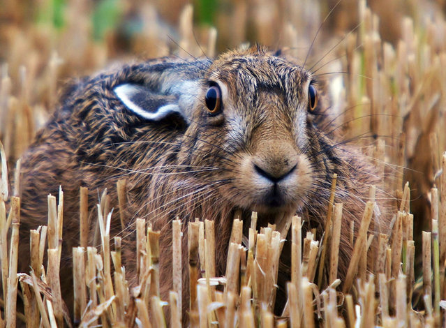 Adam took a week to get close enough to snap this wild hare. Adam's trusty camera is never far from his side as he goes about his work as a gamekeeper on an estate in the Cotswolds countryside. (Photo by Adam Tatlow/BNPS)