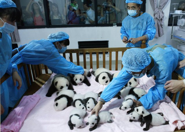 Breeders take care of giant panda cubs inside a crib at Chengdu Research Base of Giant Panda Breeding in Chengdu, Sichuan province, September 23, 2013. Fourteen new joiners to the 128-giant-panda-family at the base were shown to the public on Monday, according to local media. (Photo by Reuters/China Daily)