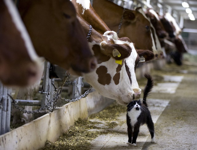 Dairy cows nuzzle a barn cat as they wait to be milked at a farm in Granby, Quebec July 26, 2016. (Photo by Christinne Muschi/Reuters)