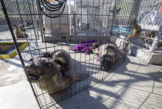 Two elephant seal pups named Chowder (L) and Lobster rest in their enclosure after being rescued at the Pacific Marine Mammal Center in Laguna Beach, California March 17, 2015. (Photo by Mario Anzuoni/Reuters)