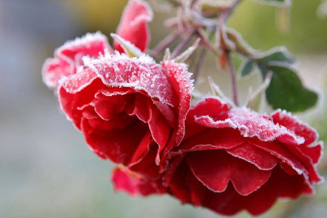 Frost covered roses in a garden near Dingwall. (Photo by Gordon Jack/Scotimage.com)