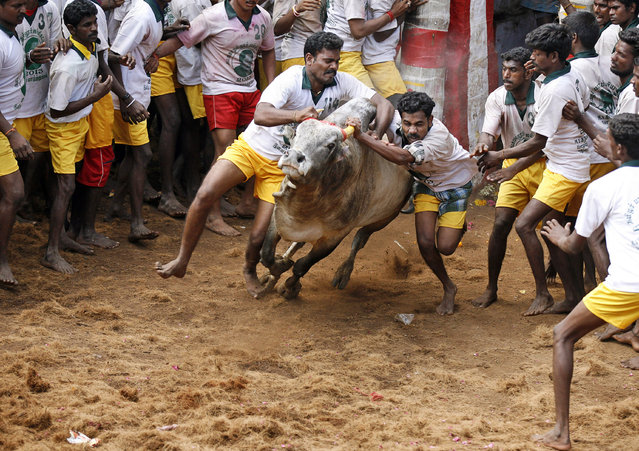 Bull tamers try to control a bull during the bull-taming sport called Jallikattu, in Alanganallur, about 530 kilometers (331 miles) south of Chennai, India, Wednesday, January 16, 2013. (Photo by Arun Sankar K./AP Photo)