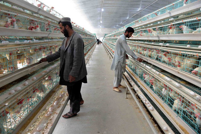Men work at a poultry farm in Kandahar, Afghanistan, 03 January 2019. Kandahar has 470 poultry farms that produce around 30 tons of chicken meat, 130000 eggs per day and a job opportunity to around 3000 persons. (Photo by Muhammad Sadiq/EPA/EFE)