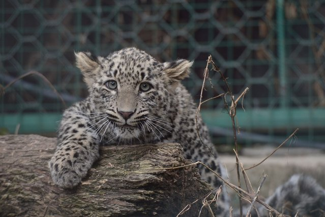 A cub at Sochi's Caucasian Leopard Breeding and Rehabilitartion Centre in the Sochi National Park. (Photo by ITAR-TASS/Barcroft Media)