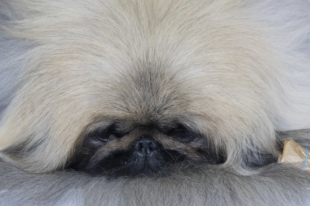A Pekingese rests in the staging area during the 141st Westminster Kennel Club Dog Show, Monday, February 13, 2017, in New York. (Photo by Mary Altaffer/AP Photo)