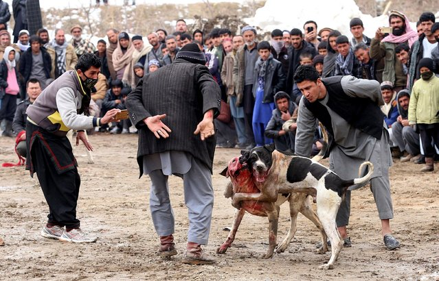 Afghan dogs fight during the weekly dog fight in Kabul, Afghanistan, 17 February 2017. (Photo by Hedayatullah Amid/EPA)