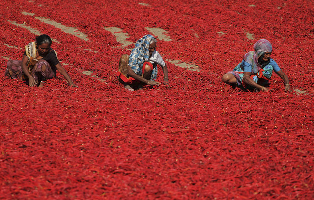 Indian women sort red chillies to dry at Shertha village in the western Indian state of Gujarat, Tuesday, March 4, 2014. A worker earns around fifteen Rupees (US$ 0.25) for removing the petiole of 20 kilograms (4.4 Pounds) of red chili. (Photo by Ajit Solanki/AP Photo)