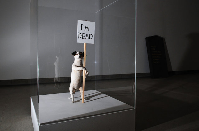 "A taxidermied artwork of a Jack Russell dog entitled ""I'm Dead"" at a press preview a new exhibition ""Brain Activity"" by British artist David Shrigley at The Hayward Gallery on January 31, 2012 in London, England. (Photo by Jim Dyson/Getty Images)"