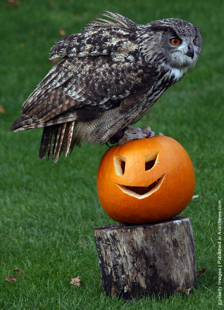 Amy the owl at Bristol Zoo Gardens sits on a special carved pumpkin that has been left as a special Halloween treat