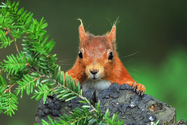 Red squirrel in Northumberland. (Photo by Bill Doherty/National Pictures)