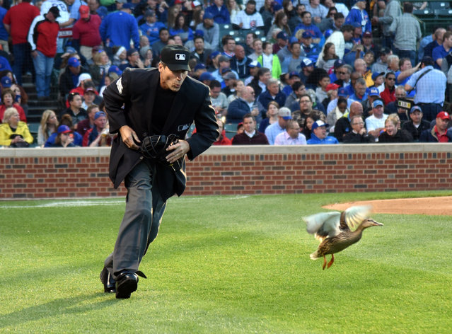 Home plate umpire Angel Hernandez shoos a duck from the field during the second inning in the second baseball game of a doubleheader between the Chicago Cubs and the St. Louis Cardinals, Tuesday, July  7, 2015, in Chicago. (Photo by David Banks/AP Photo)