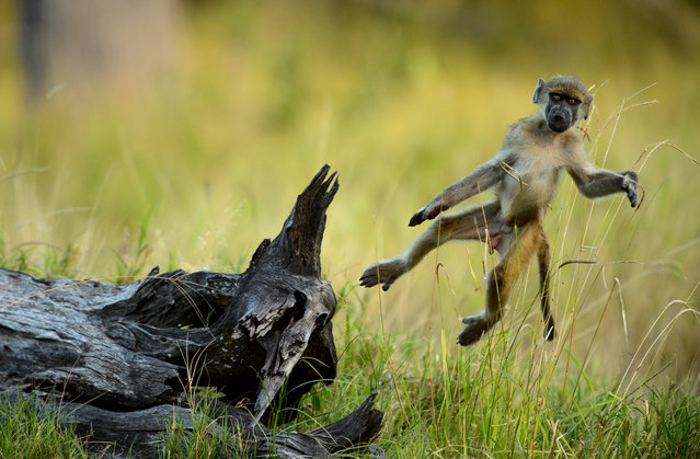 """The unconscious"". Young cub baboon jumping around captured in Moremi, Okavango Delta, Botswana. Photo location: Botswana. (Photo and caption by Chris Schmid/National Geographic Photo Contest)"