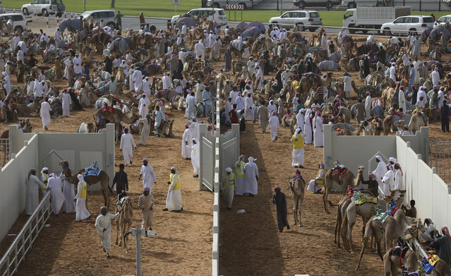 In this Saturday, April 8, 2017 photo, camel keepers bring their camels inside the official racing compound ahead of a race at the Al Marmoom Camel Racetrack, in al-Lisaili about 40 km (25  miles) southeast of Dubai, United Arab Emirates. (Photo by Kamran Jebreili/AP Photo)